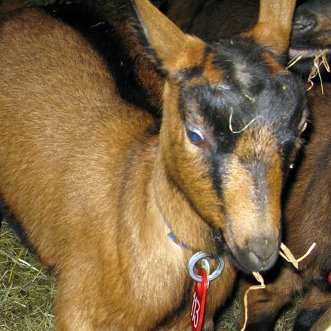 A happy goat at Consider Bardwell Farm