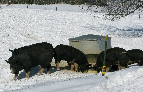 John Boy Farm's Berkshire Pigs